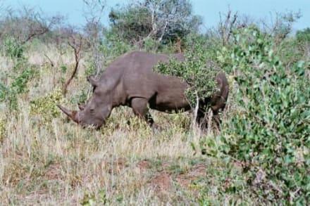 Nashorn im Hluhluwe Nationalpark - Hluhluwe Game Reserve