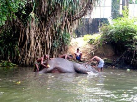 Elefantchen baden - Bentota Fluss- und Mangroven Tour