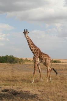 Riesen der Savane - Masai Mara Safari