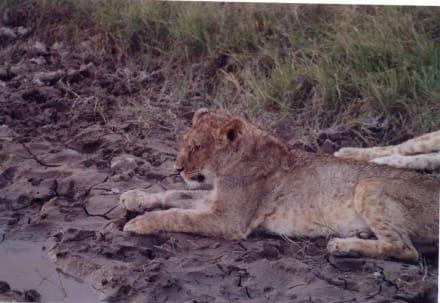 Löwen am Wasserloch - Wasserloch
