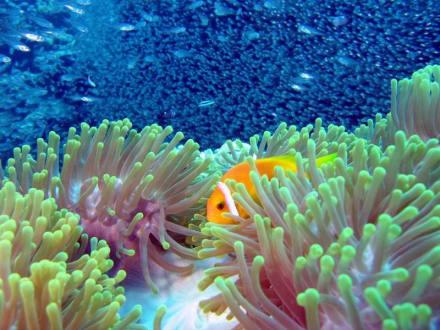 Clownfish - Aeolus Dive Fihalhohi