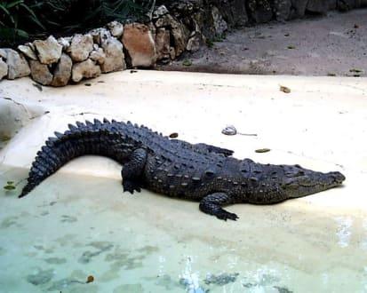 Manati Park, Krokodil - Manati Park Bavaro
