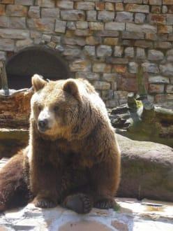 Braunbär - Zoo Augsburg