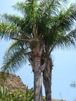 Palme - Palmitos Park
