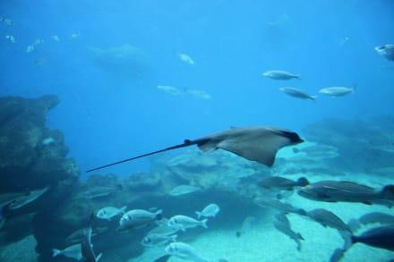 Palma Aquarium - Rochen - Palma Aquarium