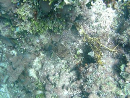 Kugelfisch - Unterwasser