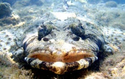 Krokodilfisch am Hausriff Hotel Brayka Bay - Tauchen Marsa Alam