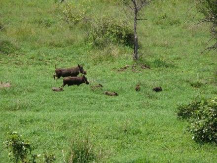 Tierwelt im Krüger - Warzenschweine - Krüger Nationalpark