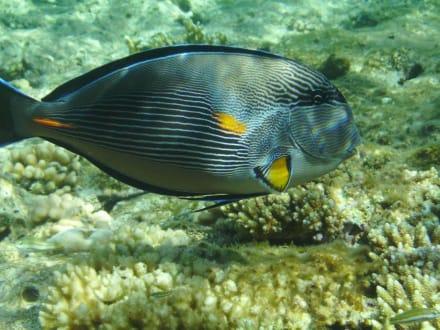 Arabischer Doktorerfisch... - Tauchen Sharm el Sheikh