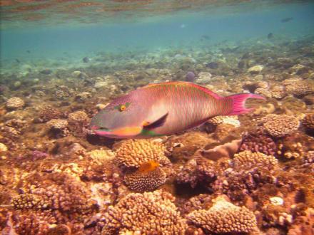 Toller Papageienfisch - Schnorcheln Sharm el Sheikh