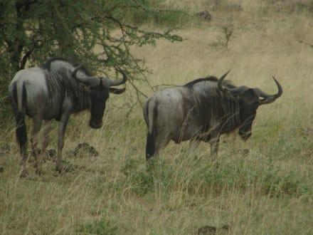 Streifengnus - Amboseli Nationalpark