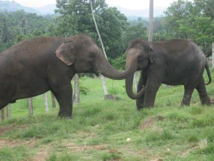 In the zoo - Pinnawala Elephant Orphanage