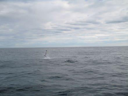 Springender Delphin II - Delfin Tour Lovina