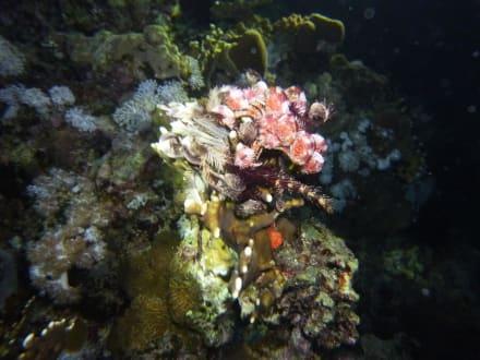 Reefs/Corals - Flamenco Diving
