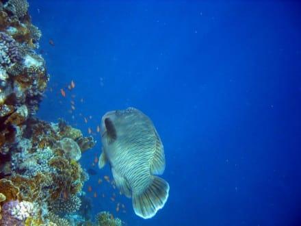 Napoleonfisch - Schnorcheln Nabq Bay