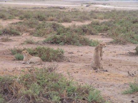 Gepardenpaar - Amboseli Nationalpark
