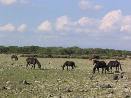 Wildpferde - Wildpferde der Giara