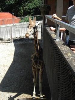 Giraffen aus nächster Nähe - Zoo Schmiding
