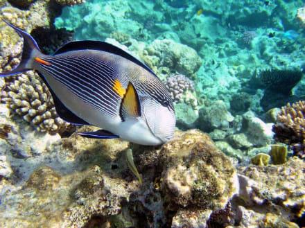 Arabischer Doktorfisch - Schnorcheln Makadi Bay