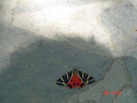 Schmetterling - Westküste