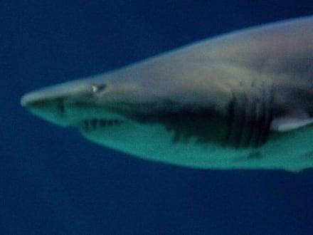 """""""Sharkeline"""", 3 m-lange Sandtigerhaidame - Aquarium Burg"""