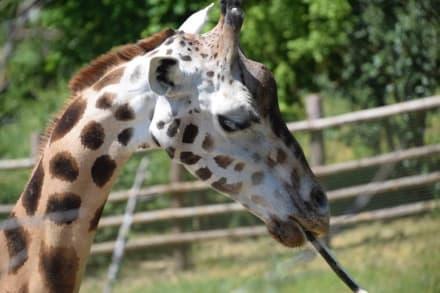 Rothschild-Giraffe - Zoologischer Garten Prag