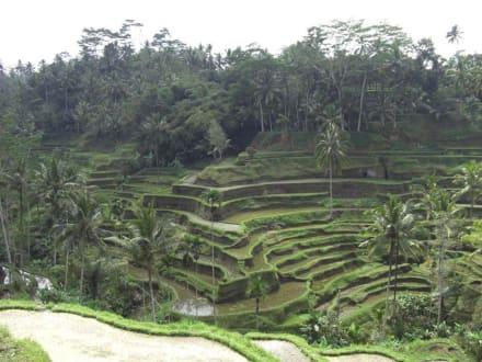Sonstiges Landschaftmotiv - Wandern Reisfelder Sanur