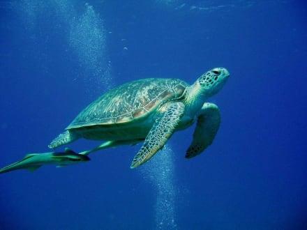 Riesenschildkröte in Abu Dabab - Tauchen Abu Dabab