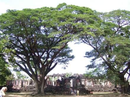 Riesenbäume - Phimai