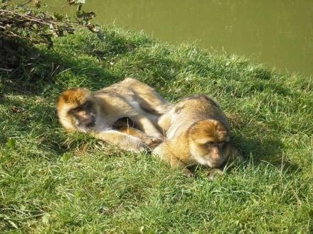 Berberaffen im Freigehege - Affen- und Vogelpark