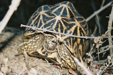 Sternschildkröte - Yala Nationalpark
