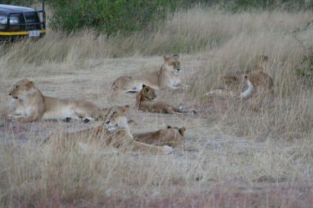 Löwen - Masai Mara Safari