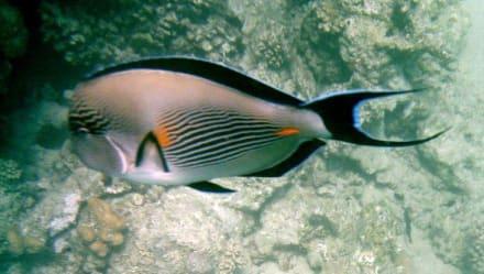 Sohal-Doktorfisch beim Palace - Tauchen Hurghada