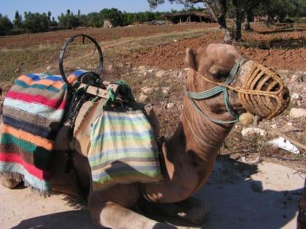 Camel-Caravane - Kamelreiten Port El-Kantaoui