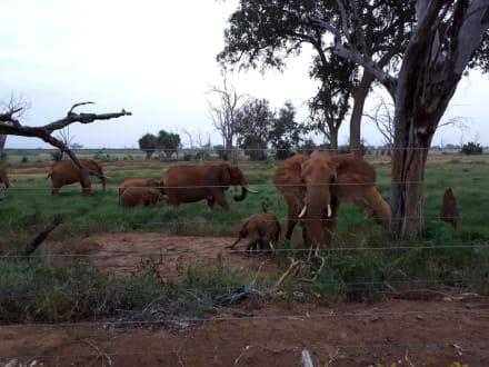 Elefanten neben der Lodge - Tsavo Ost und West Safari