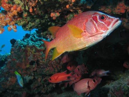Großaugen Hussarenfisch - Aeolus Dive Fihalhohi