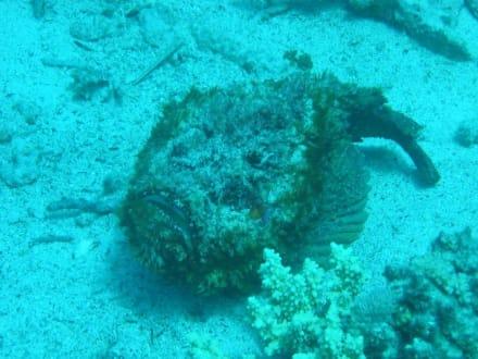 Skorpionfisch - Tauchen Hurghada