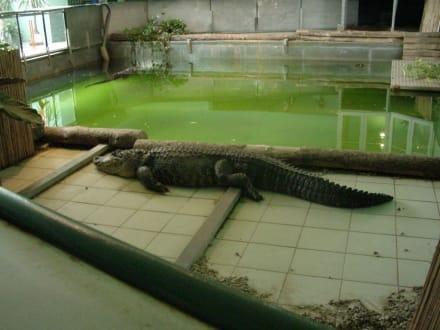 Alligator (Alligator Action Farm / Friedberg) - Alligator Action Farm