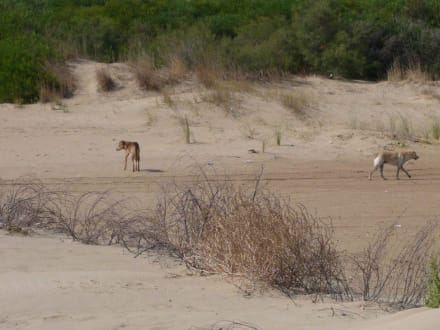Freilaufende - herrenlose Hunde am Strand! - Hotel Club Acquaviva