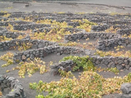 Weinberge auf Lanzarote - Weinanbaugebiet La Geria