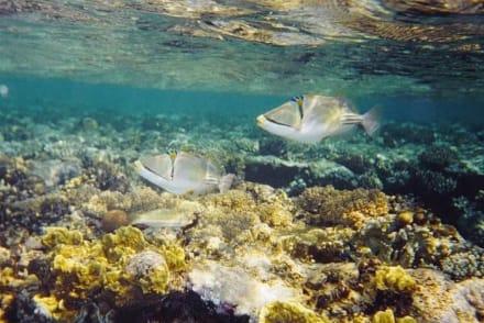 Picassos im roten Meer - Tauchen Sharm el Sheikh