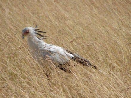 Sekretär - Masai Mara Safari