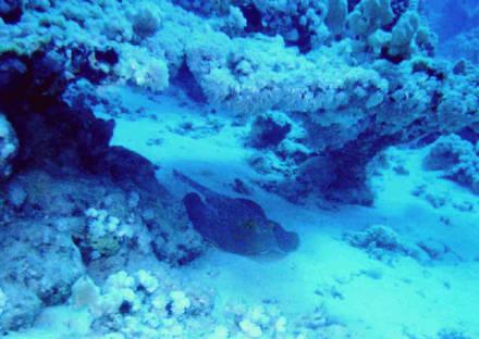 Blauchpunktrochen - Tauchen Sharm el Sheikh
