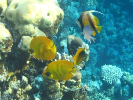 Hausriff - Tauchen Sharm el Sheikh
