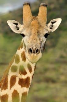 Paßfoto - Etosha Nationalpark