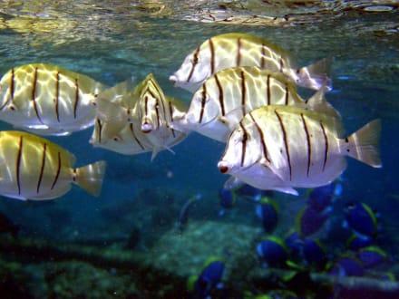 Fische - Schnorcheln Süd-Malé-Atoll