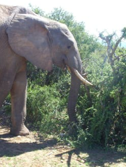 Überraschung an frühen Morgen! - Addo Elephant Park