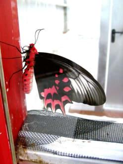 Schmetterling - Schmetterlingsfarm