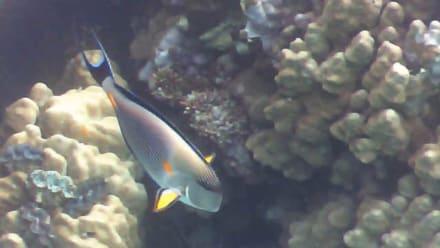 Riffe/Korallen - Schnorcheln Abu Dabab