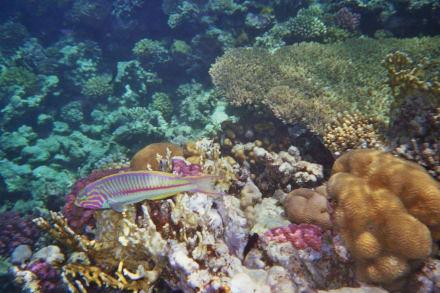 Rotmeer-Junker - Schnorcheln Makadi Bay